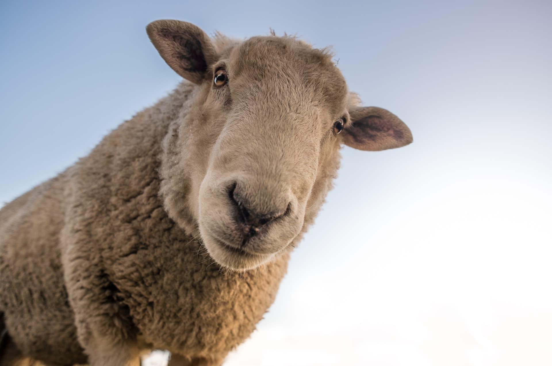 %name sheep